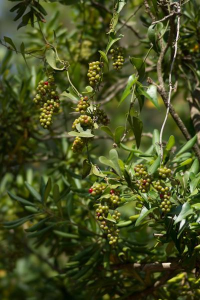Smilax aspera L. ( Salsepareille d'Europe )